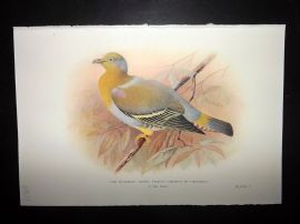 Baker & Gronvold Indian Pigeons & Doves 1913 Bird Print. Burmese Green Pigeon
